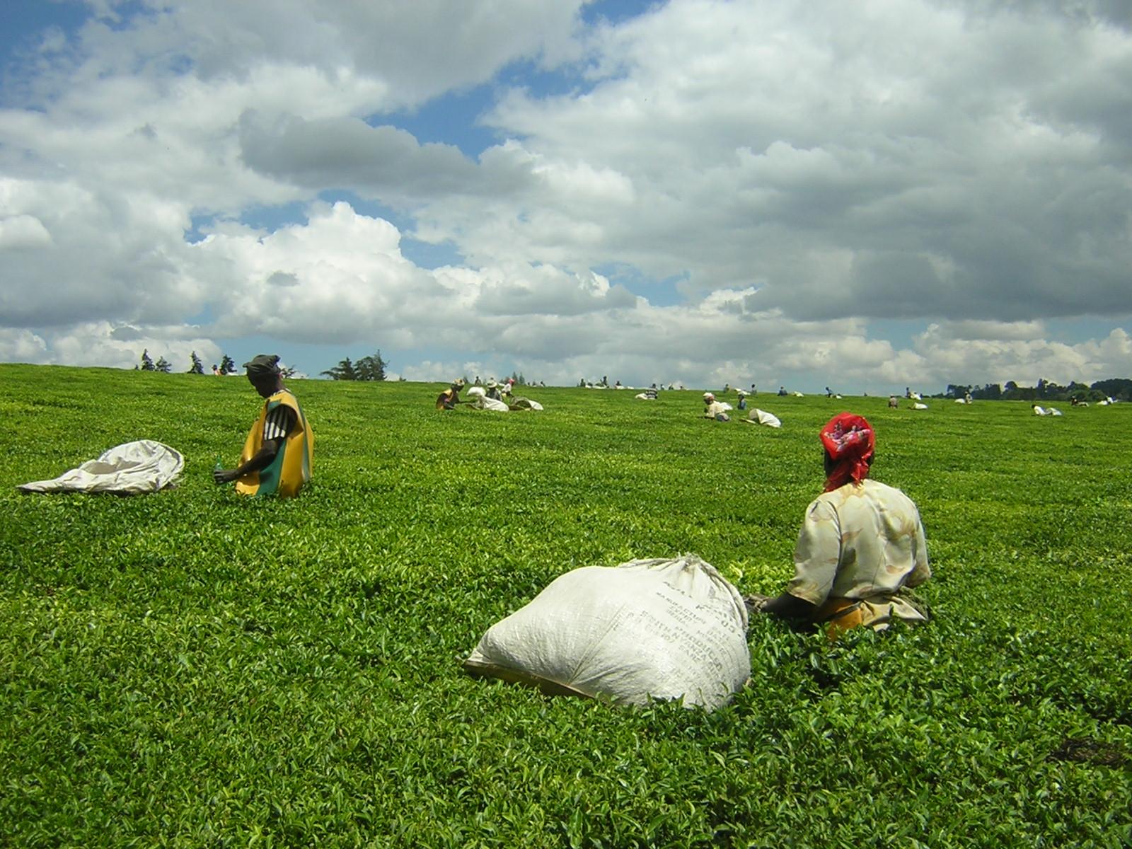 Teapickers-near-kericho